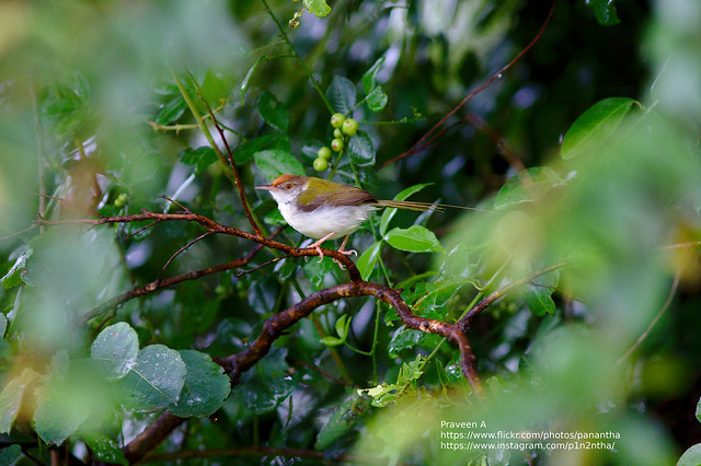Common tailorbird, Canon EOS 40D, Canon EF 300mm f/4L IS