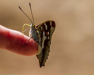 Purple Emperor Butterfly (Apatura iris)