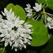 Hoya australis by Ben Caledonia
