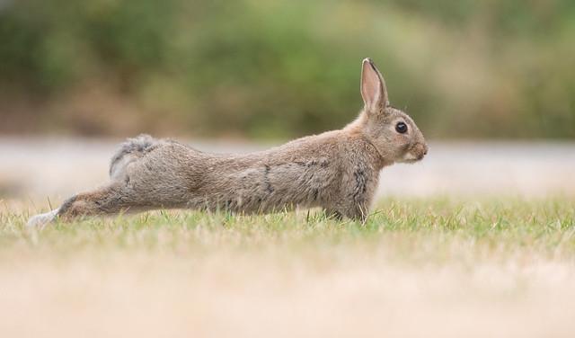 Stretching wild rabbit bunny