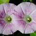 Bindweed with a blush of colour