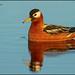Red Phalarope (Phalaropus fulicarius) by Glenn Bartley - www.glennbartley.com