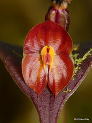 Lepanthes sp.