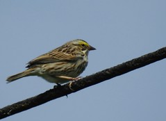 savannah sparrow at Beltsville Agricultural Research Center (BARC)