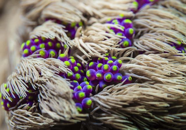 Anemone under soft coral, Nikon D90, AF-S Micro Nikkor 60mm f/2.8G ED