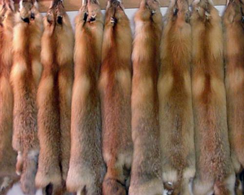 Red fox pelts
