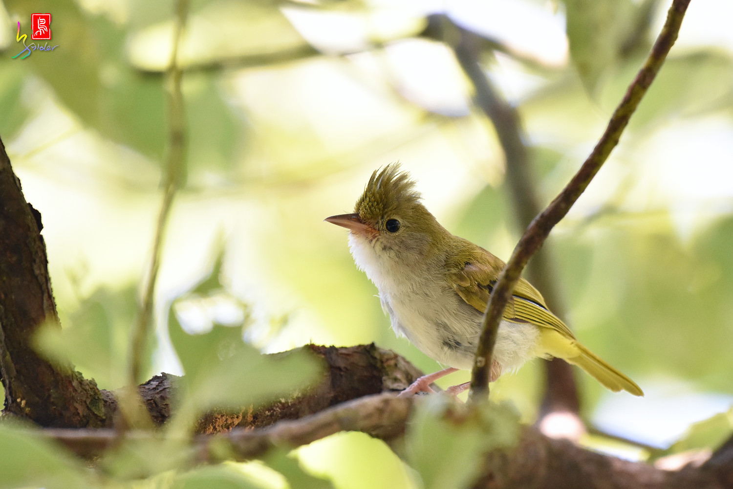 White-bellied_Yuhina_9747