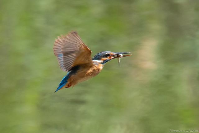20180629-kingfisher-DSC_5078