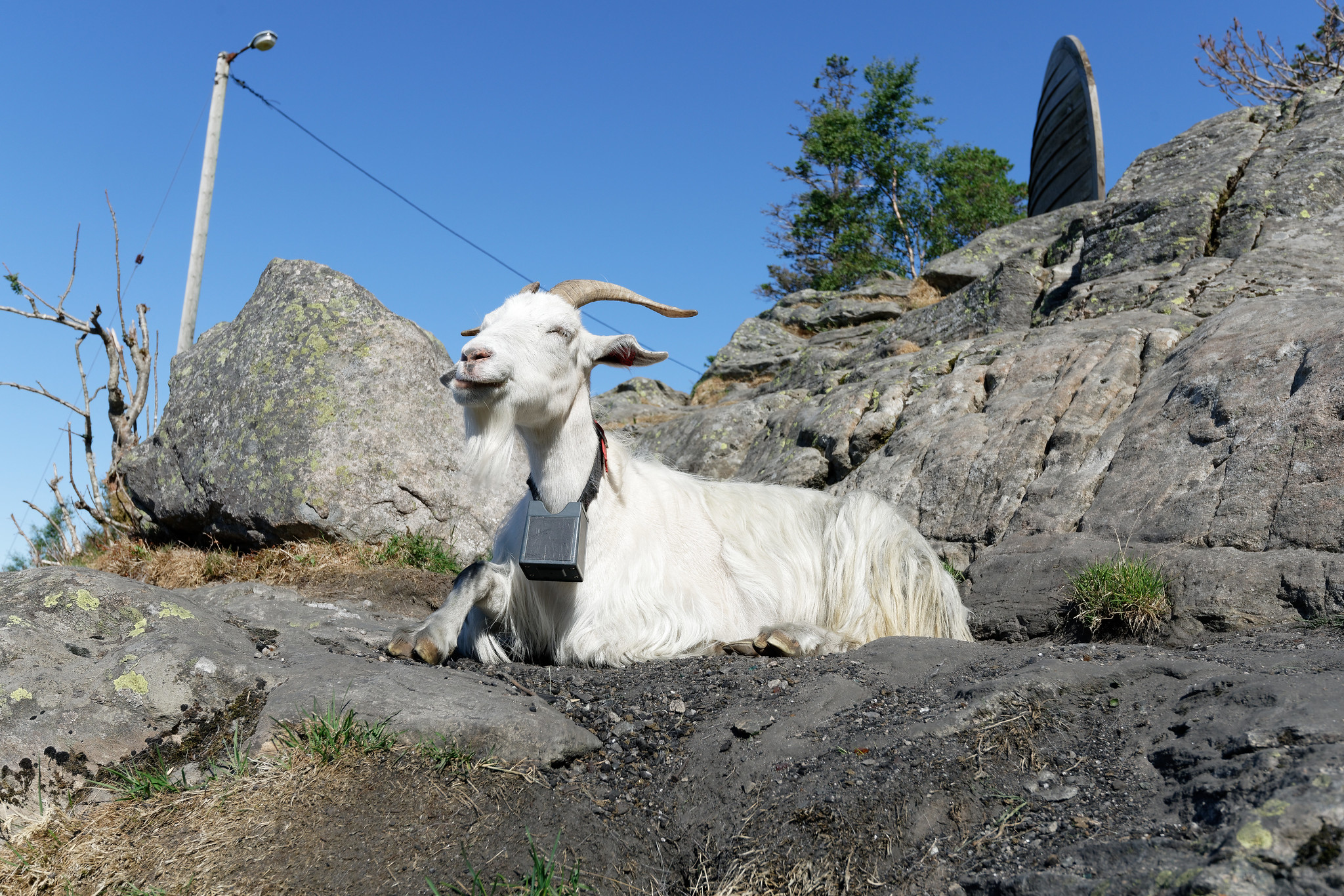 Goat On Mount Fløyen