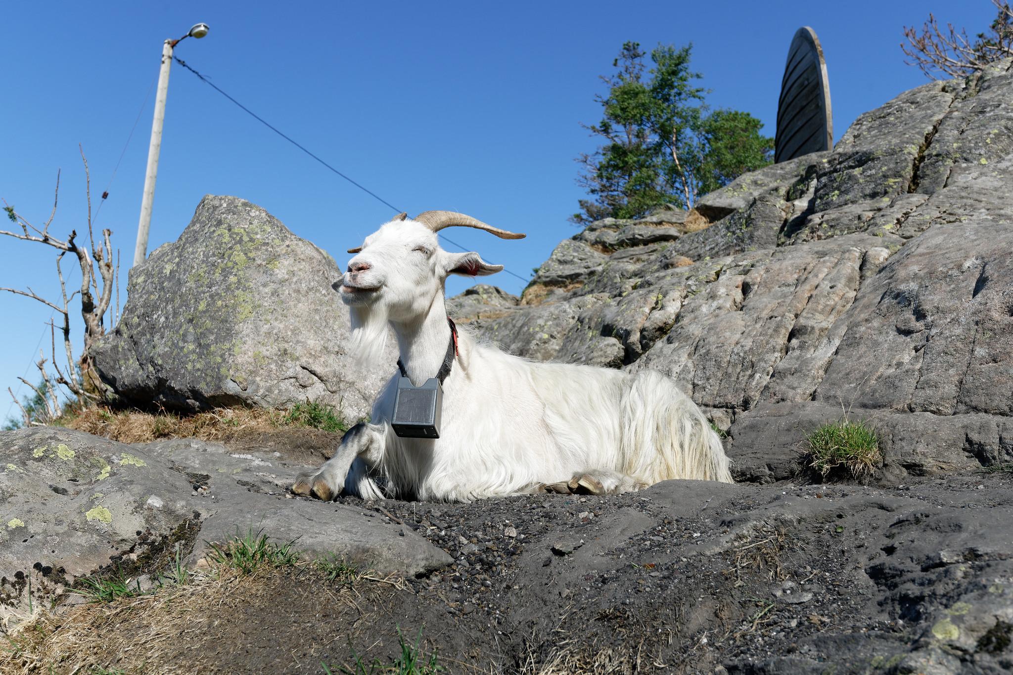 Goat On Mount Fløyen