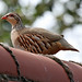 Red-legged Partridge (f)