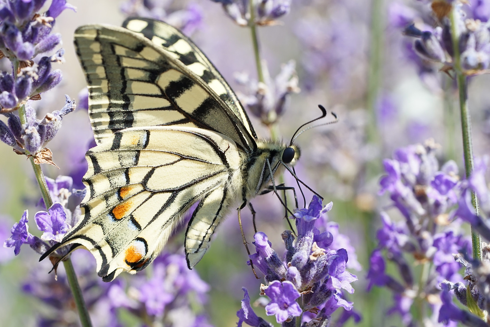 Papillon , le Machaon .