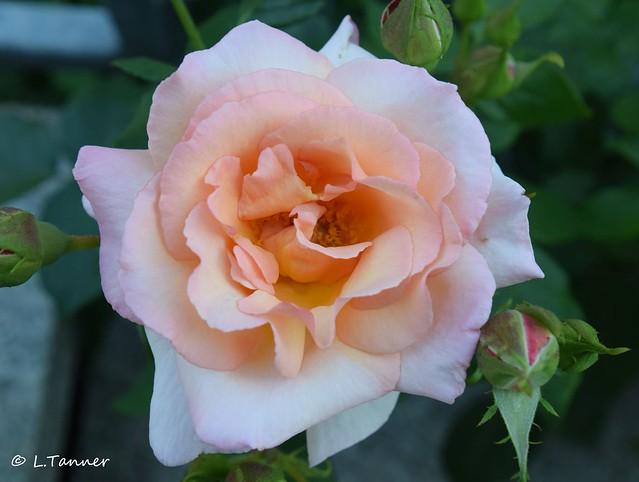 Grüße aus meinem Rosengarten