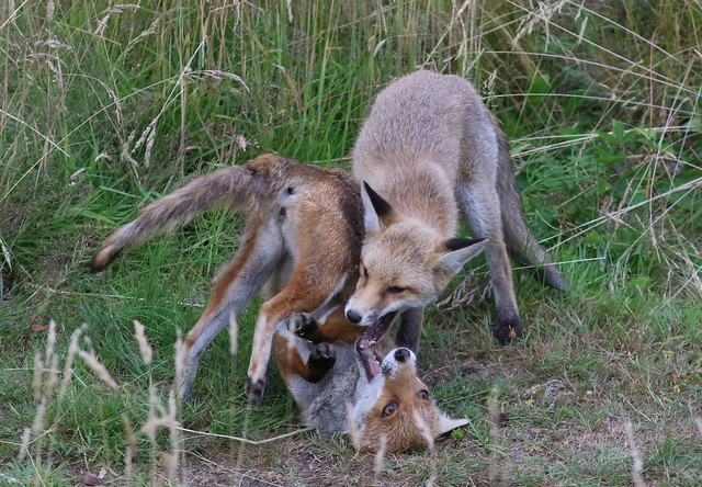 Foxes Playing, Canon EOS 7D MARK II, Canon EF 300mm f/4L IS