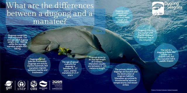 資訊圖像案例_Dugong Seagrass_Difference between manatee and dugong