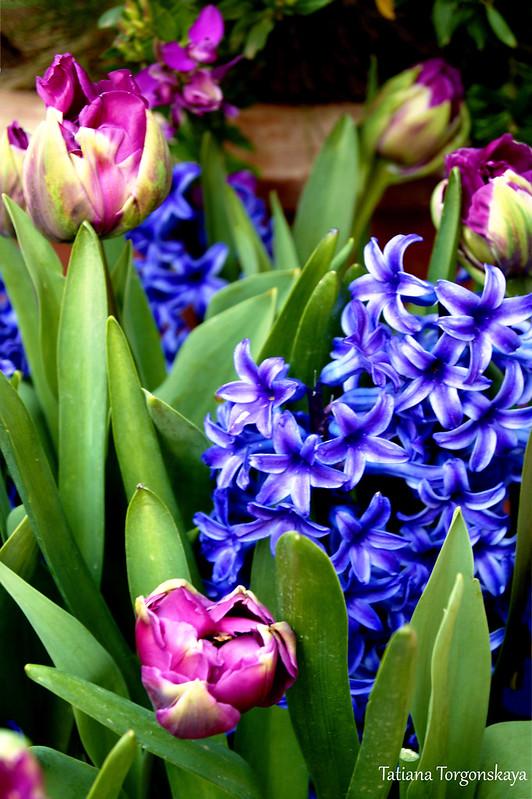 Цветущие гиацинты и тюльпаны