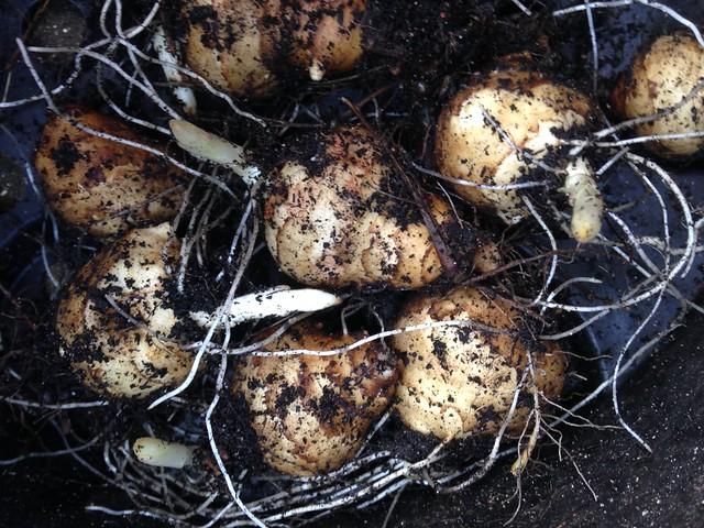 Sprouting Jerusalem artichokes