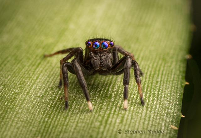 Blue-eyed Jotus