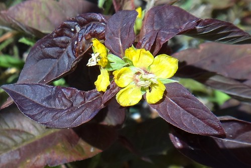 Вербейник пурпурный (Lysimachia purpurea)