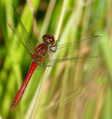 Ruddy Darter (Sympetrum sanguineum) male ... - Photo of Saires-la-Verrerie