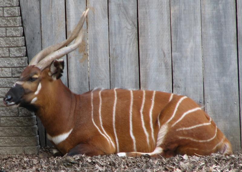 Tragelaphus eurycerus isaaci at Louisville Zoo in Kentucky. Photo taken on June 20, 2006.