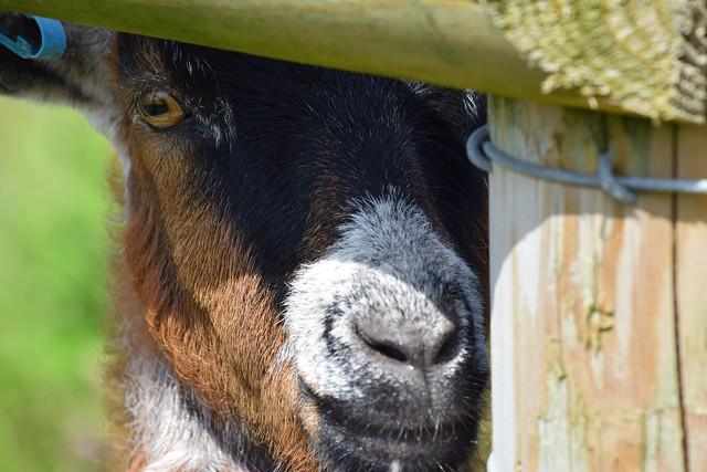 cardigan island coastal farm park goat
