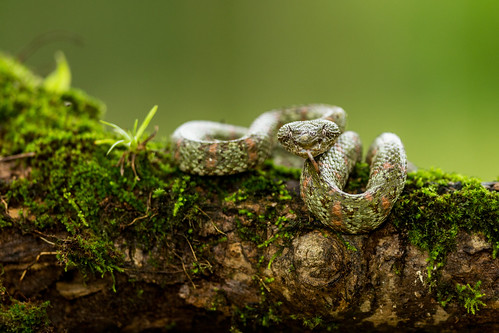 Eyelash Viper, brungrön form
