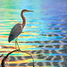 Tricolor Heron with rainbows