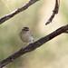 Yellow-browed Warbler Kenshangel (8)