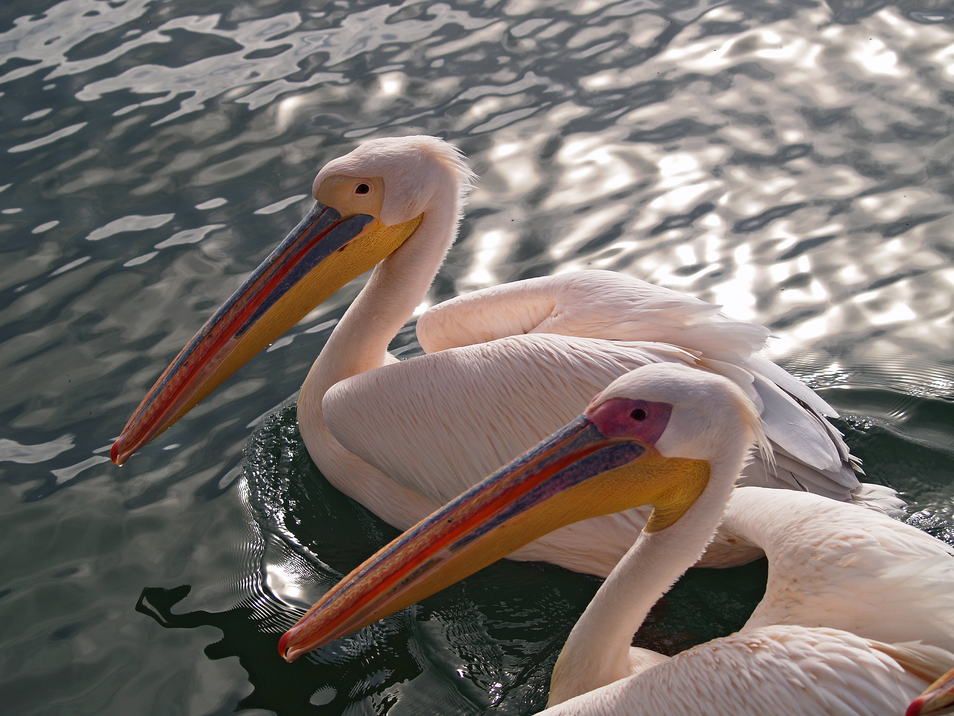A pair of Great White Pelican (also known as the Eastern White Pelican or White Pelican) in Walvis Bay, Namibia. The male (front) has pinkish skin on its face and the female has orangish skin on its face. Photo taken by Rui Ornelas on July 15, 2006.