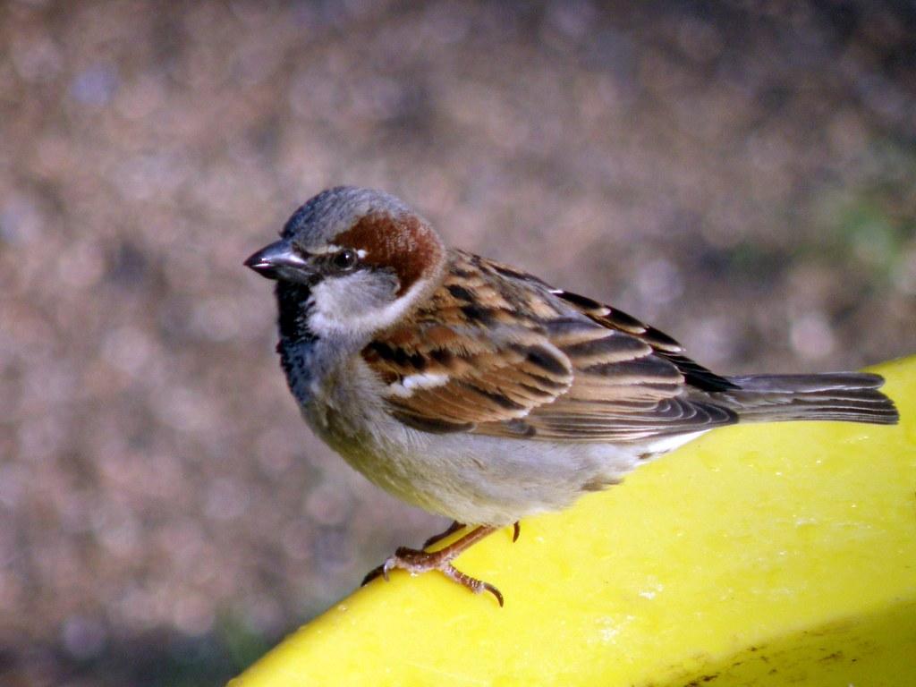 P5048388...house sparrow