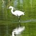 DSC02792 WHITE EGRET RADFORD LAKE