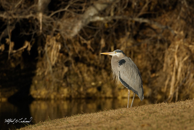 Great Blue Heron_20A8971