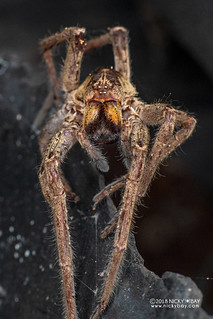 Wandering spider exuviae (Ctenidae) - DSC_5351