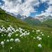 Unteralptal Green: Wollgras (1/3)