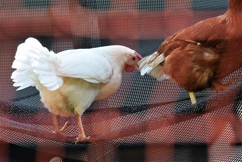 Chickens 23.07 (4)