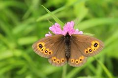 Mount Dajti National Park - butterfly 8