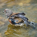 Pardillo común (Carduelis cannabina) / Common linnet