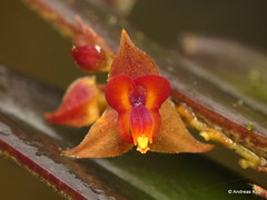 Miniature orchid, Lepanthes tachirensis