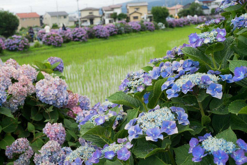2018-06-16 開成町の紫陽花 002-4