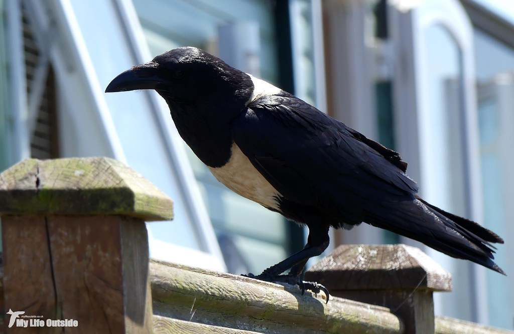 P1160016 - Pied Crow, Pembrokeshire