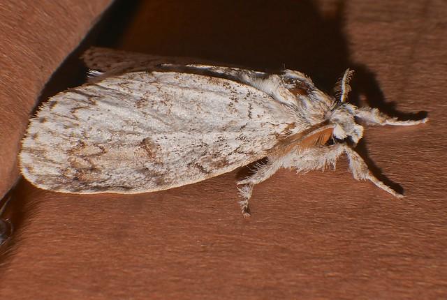 Squiggly lined pale Tussock Moth Dasychira sp Orgyiini Lymantriinae Erebidae Airlie Beach rainforest P1370206