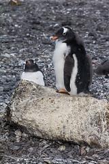 Cute Gentoo Penguins at Brown Bluff, Antarctica