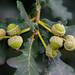 Seven green acorns