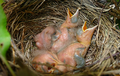 Common Blackbird (Turdus merula) brood with 4 chicks ...