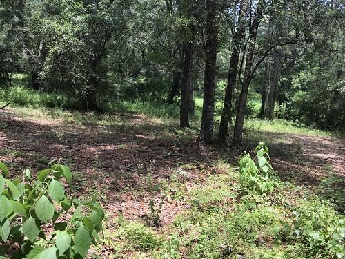 Mowed woodland