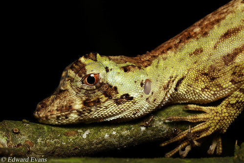 Pug-nosed anole (Norops capito)