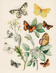 Illustrations from the book of European Butterflies and Moths by William Forsell Kirby (1882), a kaleidoscope of fluttering butterflies and caterpillars. Digitally enhanced from our own original plate.
