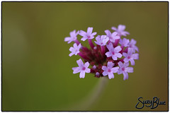 Verbena
