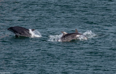 Dolphins Splashing About Aberdeen Harbour Mouth 15/07/2018